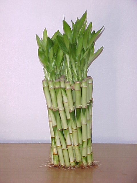 straight lucky bamboo bamboo flower. Black Bedroom Furniture Sets. Home Design Ideas